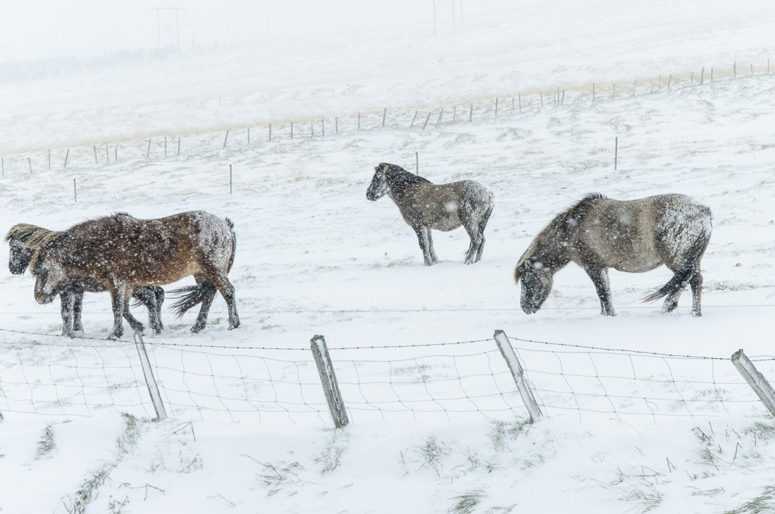 Icelandic horses enduring the harsh weather
