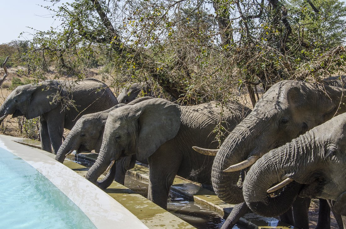 Elephants drinking from the pool at the lodge. They came the same time every day
