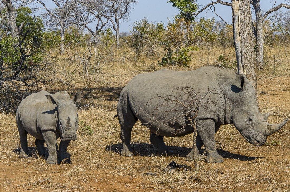 Mum and baby white rhino
