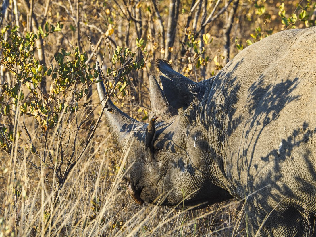 A black rhino with a bird cleaning his skin for him