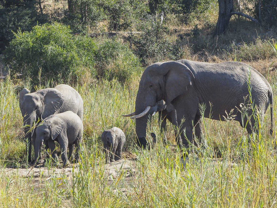 The mother elephant keeping a close eye on her children
