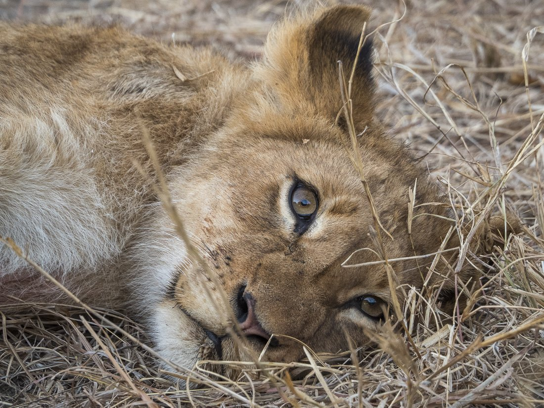 A meat drunk lion cub after feasting for a couple of days on a giraffe carcass