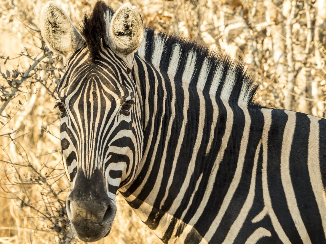 A zebra striking a pose for the camera, South Africa