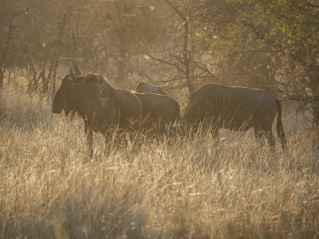 Despite it being hard to get up for a morning game drive it is worth it when you can capture wildebeest in the soft morning light
