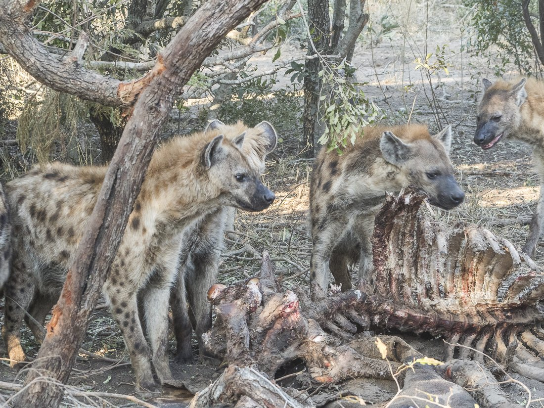 Hyenas eat the bone marrow of dead animals so there's not much left once they've finished