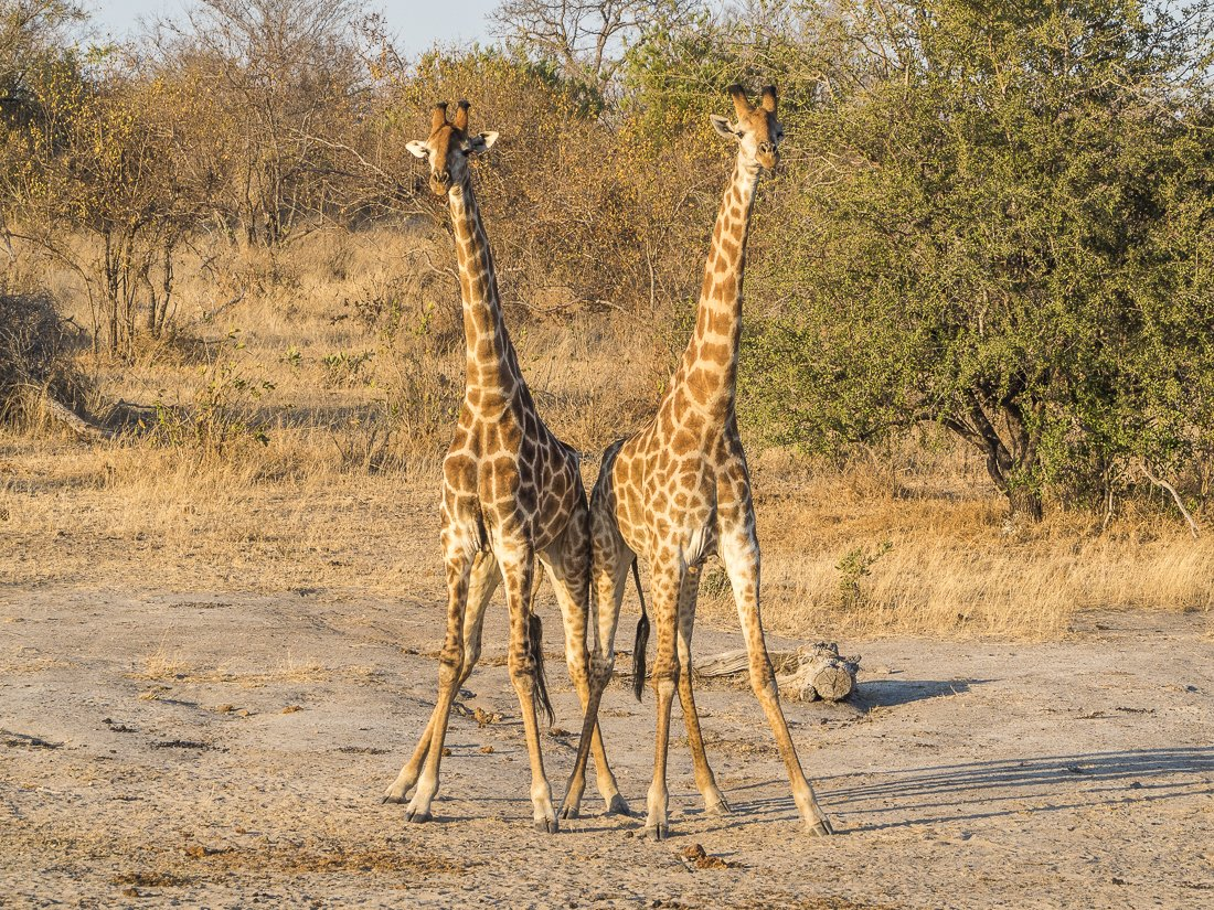 These two young male giraffes were actually pushing each other trying to fight