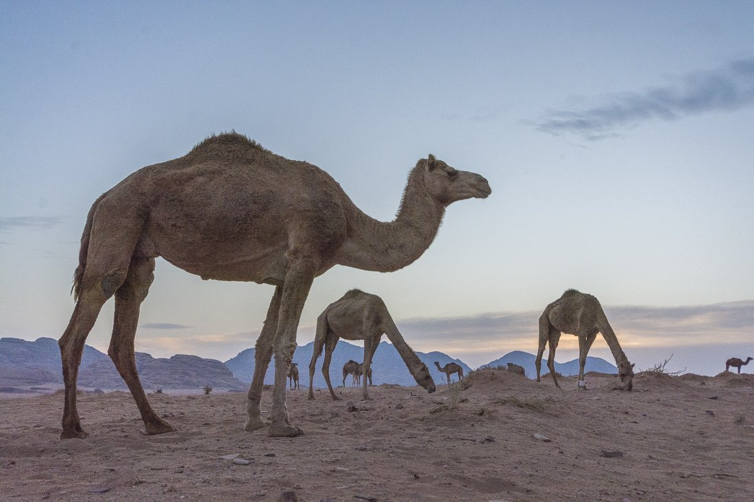 Surrounded by a camel herd