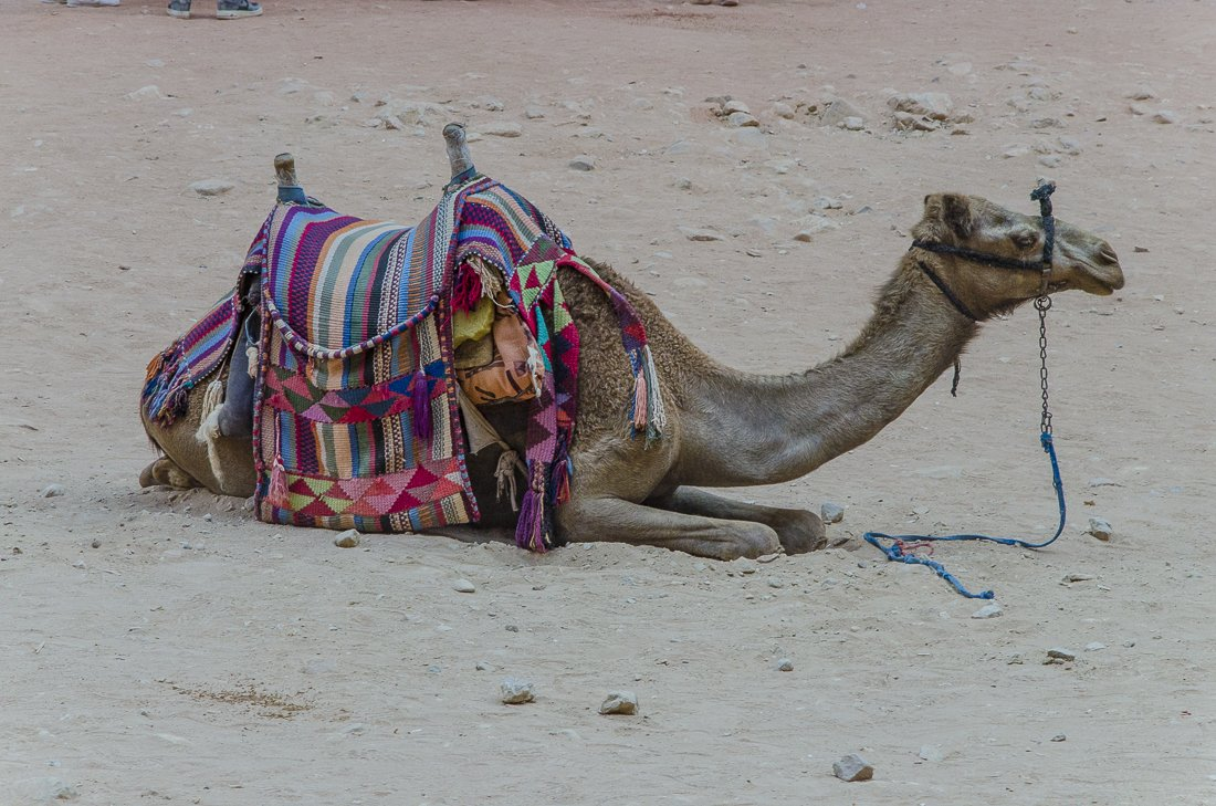 Camels available to rent